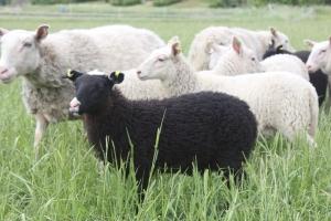 lammasristeytys